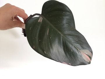 Selling: Philodendron Pink Princess Rooted Cutting