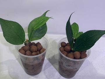 Selling: Hoya Polyneura