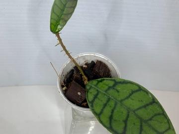 Selling: Hoya Callistophylla short leaf