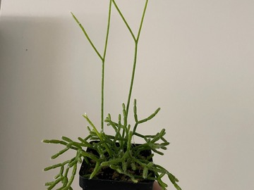 Selling: Rhipsalis Mistletoe Cactus