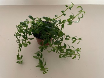 Selling: Goldfish Plant