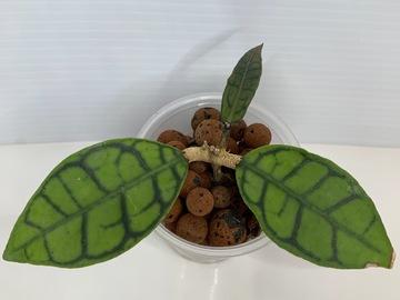 Selling: Hoya Callistophylla short leaf in leca