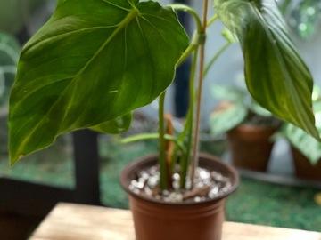 Selling: Philodendron pastazanum