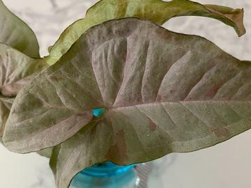 Selling: Syngonium pink spot