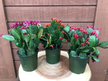 Selling: Spring/Easter Cactus