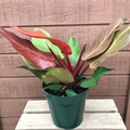 Selling: Philodendron McColley