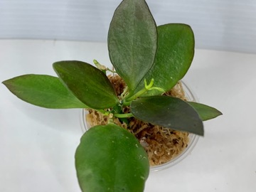 Selling: Hoya Collina in moss