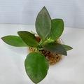 Selling: Hoya Collina in moss