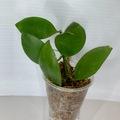 Selling: Hoya Collina in moss #2
