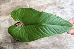 Selling: Anthurium insigne