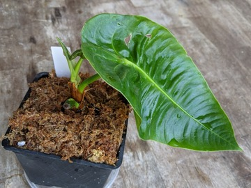 Selling: Anthurium veitchii