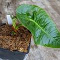 Selling: Anthurium veitchii