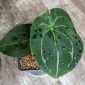 Selling: Anthurium forgetii dark
