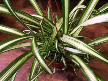 Selling: Hawaiian Spider plant - trailing