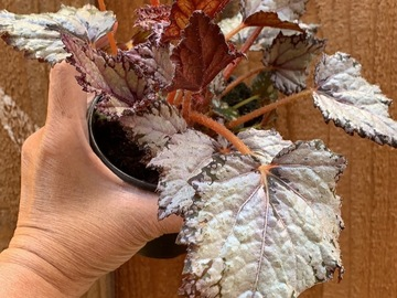 Selling: Begonia REX family - 5 kinds