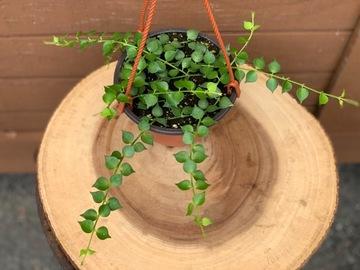Selling: Dischidia ruscifolia Million Hearts