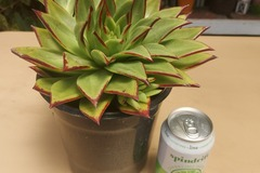 Selling: Echeveria agavoides liptick