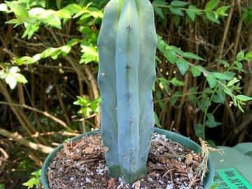 Selling: Myrtillocactus geometrizans cactus
