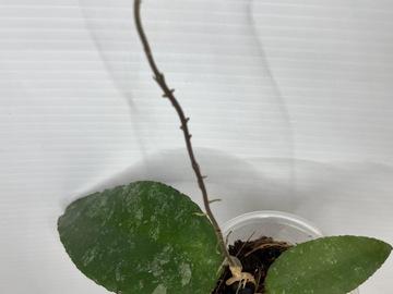 Hoya Caudata Sumatra #2