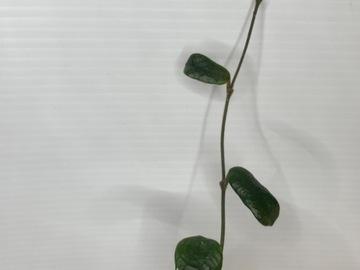 Hoya rotundiflora in moss