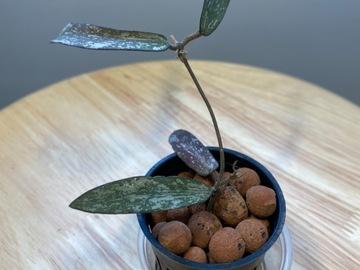RARE Hoya Sigillatis / Rooted / Exact Plant