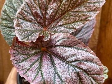 Begonia Maurice Amey