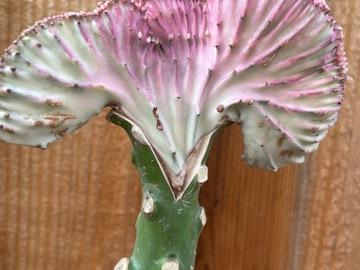 Selling: Euphorbia Lactea Cristata