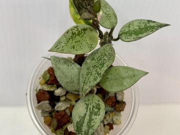 Hoya Krohniana silver in pon mix