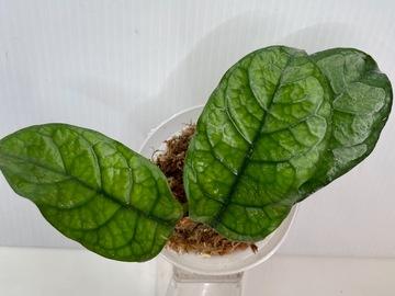 Hoya Villosa Cao Bang #1