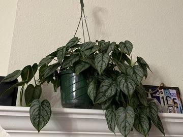 Rare philodendron Brandtianum cuttings