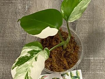 Selling: Monstera Albo Borsigiana 3-leaf High Color