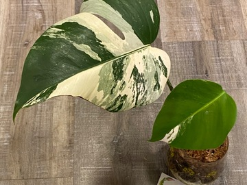 Selling: Monstera Albo Rooted 2-leaf