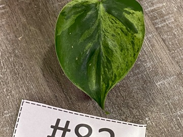 Philodendron Variegated Hearleaf Rooted Cutting