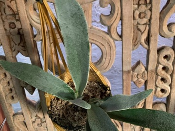Selling: Staghorn Fern in hanging bamboo basket