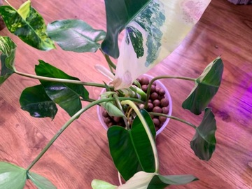 Selling: Philodendron burle-marxii  'Variegata'