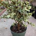 Selling: Portulacaria Variegated- Elephant Bush Variegated Tree