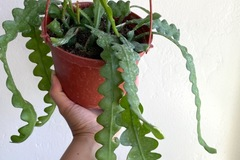 Selling: Ric Rac Cactus