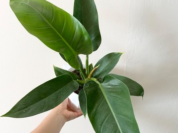Selling: Philodendron Imperial Green