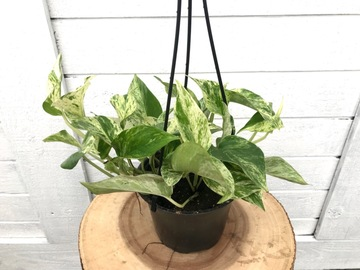 Selling: Marble Queen Pothos