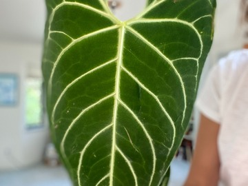 Selling: Anthurium Regale - XL two leaves