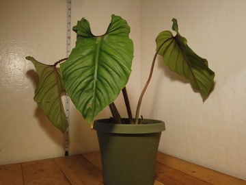 Selling: Philodendron Plowmanii (C)