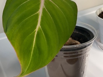 Selling: Philodendron Gloriosum