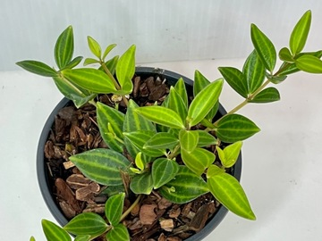"Selling: Peperomia angulata - 4"""