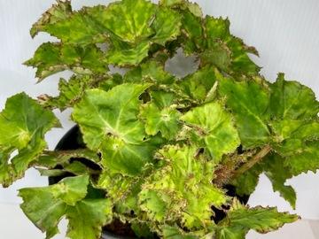 Selling: Begonia king tut