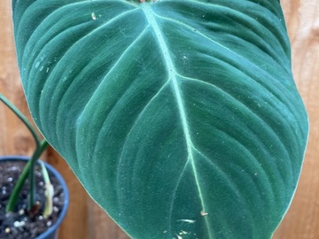 Selling: Philodendron Gloriosum #3